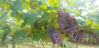 Produção de uva em Içara